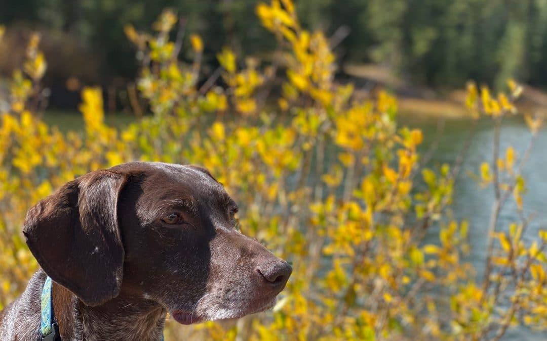 Heartworm Disease and Your Colorado Dog